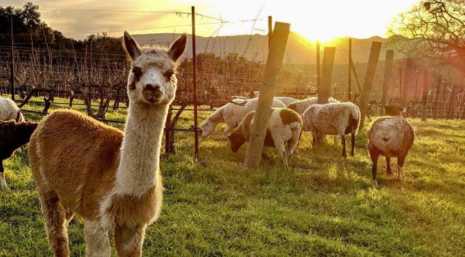 Rhône Adventures Continue with Tablas Creek Vineyards on The Varietal Show